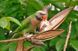 大绯胸鹦鹉
